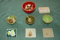 Bloembollen sorteren, daarna de afbeeldingen omdraaien om te ontdekken welke bloem er zal bloeien -MontessoriNet