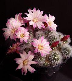 Flowering cactus.