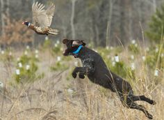 The Ultimate List: Top Hunting Dogs by Breed and Category A wee bit too & - # - Burmese Mountain Dogs, Pheasant Hunting, Types Of Dogs, Large Dog Breeds, Rhodesian Ridgeback, Hunting Dogs, Dog Photos, Archery, Best Dogs