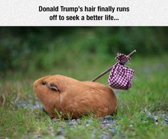 Donald Trump's hair finally runs off to seek a better life guinea pig meme - Check out more funny animal hairstyles and hilarious Donald Trump hair memes at the #FridayFrivolity link-up this week!  Join the linky party for all things fun, funny, happy & hopeful!
