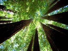 Redwood Forest near Santa Cruz.