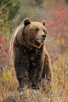 Grizzly bear (Ursus arctos), Montana by Don Johnston