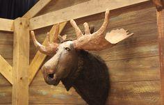 Paper Mache Animal Head ( Moose) :  Laughing Stock prop  www.give-em-props-studio.com