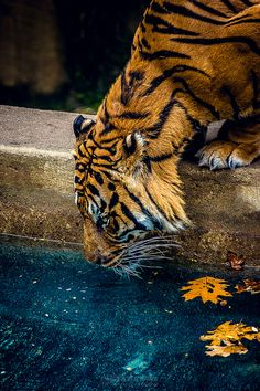 Tiger by photographer by Al Ebnereza.  Colors (gold & azure)