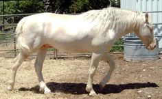 Image result for white shire horse