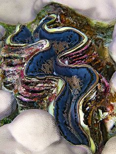Giant Clam (Tridacna gigas) from the Red Sea, Egypt.  Visit Photo Hall - A collection of nice photos. for more nice photos.