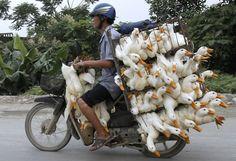 Un homme transporte des dizaines de canards sur sa moto et se dirige vers un marché à côté de Hanoi, au Vietnam, le 31 mai 2012. Reuters/Kham