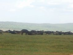 A herd of buffalos