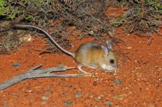 Hopping mouse, Uluru, Central Australia