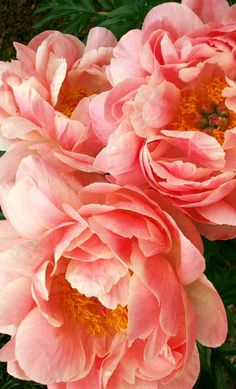 ~~Peony 'Coral Charm' is known for its obvious beautiful coral color and richly textured blooms | Nelson Nursery~~