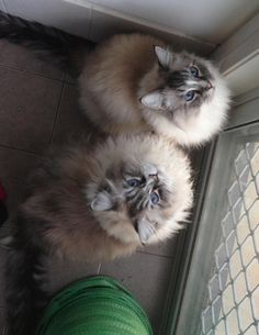 Ragdoll cats...can i have one please?!?!?!