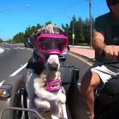 Ride or Dog - Funny Animals Cute Funny Animals, Cute Baby Animals, Funny Dogs, Animals And Pets, Cute Animal Videos, Cute Animal Pictures, Cute Puppies, Cute Dogs, I Love Dogs