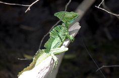 Male Green Basilisk Lizard Heats up in the Sun