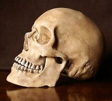 reproduction crane humain en  résine , realistic human skull                                                                                                                                                                                 More