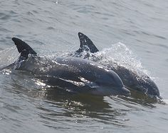 Dolphins off Cape May NJ.