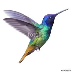 Hummingbird - Golden tailed sapphire. Hand drawn vector ...