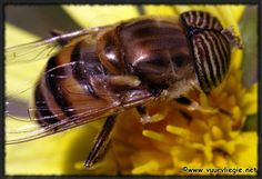 The Honey Bee Mimic comes from the Family Syrphidae and the Order Diptera. It forms part of the Hover Fly Group with its scientific name being Eristalinus Taeniops. It is identified by being a medium sized bee mimic with black bars on its eyes, a dull orange thorax and a yellow and black striped abdomen. If it is caught, it buzzes aggressively but is completely harmless as it has no sting. They are widespread in Africa and Asia.