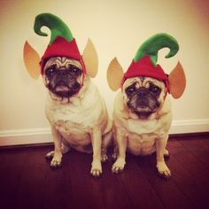 Zoe & Reagan Holiday Pug Pics 2014 - Follow us on Instagram: @zoereagan