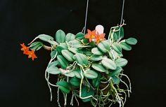 Resultado de imagem para orquideas oncidium