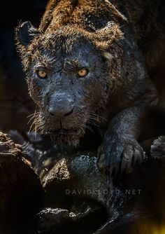 Big Cat mud bath won first place in the Mammals Category in the GDT European Wildlife Photographer of the Year... Photography: David Lloyd