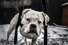 Milly is the winner of The Dog Photographer Face of 2015 http://dogtog.co.uk/face/ She is a young boxer who was rescued following an abusive start in life which ultimately left her needing a leg amputating. Does having just three legs hold her back? No way! This gorgeous tripawd bounds about as if there was no difference! #dogtogUK