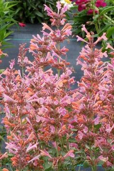 Kudos Ambrosia Agastache Plants produce beautiful flower spires in shades of creamy coconut, light orange and pale rose /pink. This compact plant will bloom from early summer right to September. It's as pleasing to the eye as it is to the hummingbirds! Attracting Hummingbirds, How To Attract Hummingbirds, Bee Hummingbird, Plant Sale, Light Orange, Pink Roses, Perennials, Beautiful Flowers, Compact