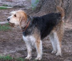 Otterhound - Shaggy, boisterous and friendly, the Otterhound is uncommon but makes a devoted companion. This breed has been known in Britain since the early 13th century, where it was used to hunt otter, which robbed rivers of their fish.