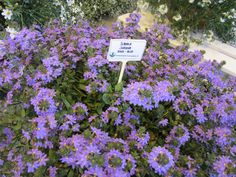 Siniviuhko 'Surdiva pink blue' Pink Blue, Plants, Plant, Planets