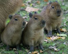 Capybara babies!  I think I may need one or three.