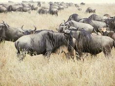 blue wildebeest | Drive on the Wild Side – Life & Death on the Serengeti, Part 1