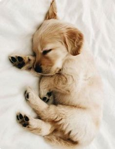 Golden Retriever Discover 10 Adorable Puppies Playing In Their First Snow [PICTURES] - Dogtime tiny sleeping Golden Retriever puppy Super Cute Puppies, Cute Baby Dogs, Cute Little Puppies, Cute Dogs And Puppies, Adorable Puppies, Puppies Puppies, Doggies, Cute Pups, Funny Puppies