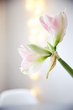 Helt Enkelt: Bara lite... #amaryllis #bloem #flower Amarillis, Easter Colors, Plantation, Pink Christmas, Pretty Pastel, Pink And Green, Yellow, Rose, Gardens
