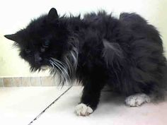 TO BE DESTROYED 6/10/14 ** SENIOR ALERT! AND MINA IS BLIND!! PLEASE HELP SAVE HER NOW! ** Brooklyn Center  My name is MINA. My Animal ID # is A1002542. I am a female black and white domestic lh mix. The shelter thinks I am about 14 YEARS old.  I came in the shelter as a OWNER SUR on 06/08/2014 from NY 11217, owner surrender  PERS PROB.