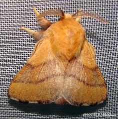 Malacosoma disstria [Forest Tent Caterpillar Moth]
