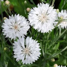 Cornflower White (Centaurea Cyanus Dwarf Tom Pouce) 50+Seeds