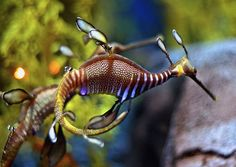 The Sea Dragon is well camouflaged against the reef algae and weeds