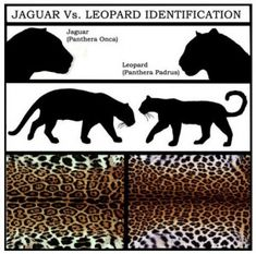 Jaguar:  Stockier, more muscular.  Compact body, broader head, powerful jaws. Tail is shorter.  Coats rosette pattern have spots inside them.  Both can have golden fur or black (melanistic)