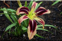 Tusk, Daylily ht x fl Growing Flowers, Planting Flowers, Types Of Lilies, Daylily Garden, Agapanthus, Cottage Gardens, Day Lilies, Back Gardens, Daffodils