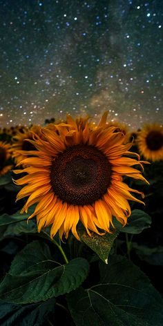 Nature wallpaper for cell phone; sunflower wallpaper at night, field of big yellow petal flowers with green leaves and sky … Sunflower Iphone Wallpaper, Wallpaper Iphone Cute, Aesthetic Iphone Wallpaper, Aesthetic Wallpapers, Iphone Backgrounds, Trendy Wallpaper, Iphone Wallpapers, Wallpaper Backgrounds, Wallpaper Quotes