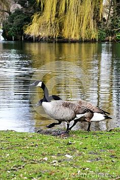 Canadian Goose rests from its migratory flight by a quiet lake.