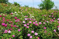 El Blog de La Tabla: Museo Giardino della Rosa Antica: un mar de rosas