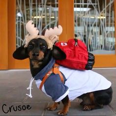 Crusoe the celebrity dachshund — How I arrive to a hotel. Read about my VACATION...