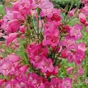Botanical name: Penstemon 'Pensham Just Jayne'    Other names: Penstemon 'Pensham Just Jayne', Beardtongue 'Pensham Just Jayne' Click image to learn more, add to your lists and get care advice reminders each month.
