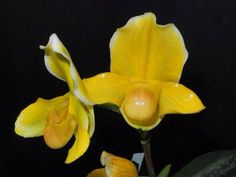 Paph.In charm Gold'Hilo'