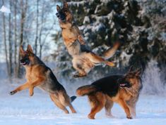 Three German Shepherd Dogs jumping in the snow ♥ - German Shepherd Dog Central