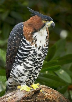 Ornate Hawk-Eagle (Spizaetus ornatus) is a bird of prey from the tropical Americas