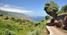 Insel La Palma / Kanaren Drachenbaum