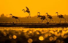 Flamigos gather at sunset in India's Lake Pulicat in this National Geographic Your Shot Photo of the Day. Photographie National Geographic, National Geographic Photography, National Geographic Animals, National Geographic Travel, Photography Photos, Amazing Photography, Wildlife Photography, Smithsonian Photo Contest, Battle Bears