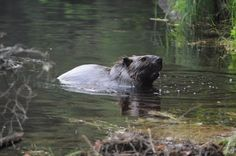 Beaver, Beaver Pond, Nature Photography, Fine Art, Photography, Instant Download, Canada, Algonquin Park, Wildlife, Wildife Photo