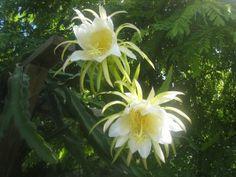 Pitaya, AKA: Queen of the Night, Night Blooming Cereus, Honolulu Queen (Hylocereus undatus)